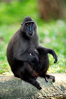 Celebes crested macaque Macaca nigra, female, adult, captive, Singapore, Southeast Asia