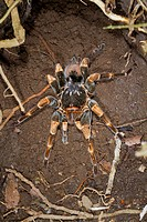 Female orange_knee, or Mexican red_kneed tarantula Brachypelma smithi, with a baby on the back, Monteverde Natural Reserve, Puntarenas, Costa Rica, Ce...
