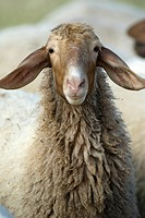 Sheep, Ovis orientalis aries