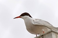 Common Tern perched in Saskatchewan Canada