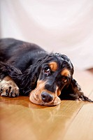 English Cocker Spaniel, black tan color, looking bored