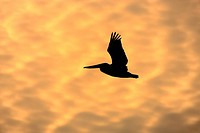Brown Pelican (Pelecanus occidentalis), adult in flight at sunset, Florida, USA