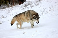 Wolf Canis lupus, foraging for food, snow, Montana, USA, North America