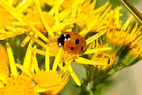A ladybird, Coccinella septempunctata, on the yellow flower of the ragwort, Senecio jacobaea.