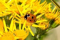 A ladybird, Coccinella septempunctata, on the yellow flower of the ragwort, Senecio jacobaea.