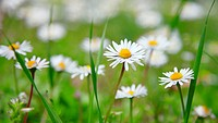 Beautiful daisies on a background of green grass
