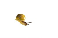 Yellow snail crawling towards camera