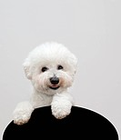 Bichon frise dog isolated on gray background