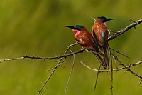 Vumbura Plains Camp, Okavango Delta, Botswana, Africa..Colorful Carmine bee_eaters perched on a thorn_covered branch.