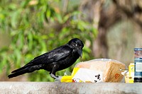Australian raven (Corvus coronoides) stealing bread, Kakadu National Park, Northern Territory, Australia