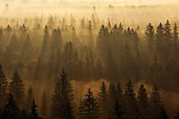 Morning mist in forest, sunrise..Morning mist in forest in Isar valley, elevated view, sunrise. Wolfratshausen, Munich, Isar valley, Upper Bavaria, Ba...