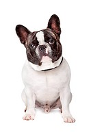 Cute French Bulldog sitting on a white background