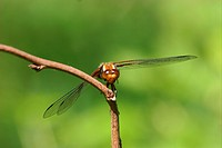 Broad_bodied Chaser Libellula depressa _ female on a branch