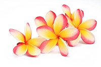 frangipani flowers on white background