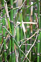Bamboo forest.Bamboo stalks with blurry background.