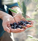 man showing a handful of freshly harvested olives.