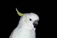 Parrot, Lat. Cacatua galerita triton, isolated on a black background