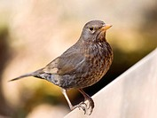 Portrait of song thrush _ Turdus philomelos