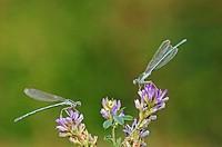 White-legged Damselfly or Blue Featherleg (Platycnemis pennipes), two males, North Rhine-Westphalia, Germany, Europe