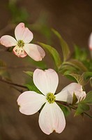 A Repetition of Light Pink Dogwood Flowers.Blossoming Branch of a Light Pink Dogwood Tree. Two Flowers and Green Leaves.