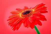 Red gerbera flower on red background