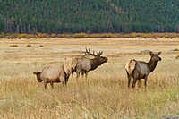 Rocky Mountain Elk, Cervus canadensis, bugling.Rocky Mountain National Park, Colorado, USA
