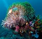Pink anemonefish Amphiprion perideraion, Komodo, Indonesia