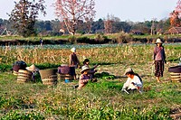 Women working in a field, Myanmar, Burma, Southeast Asia, Asia