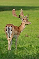 Fallow Deer (Dama dama), in the velvet stage, in an enclosure, Saxony, Germany, Europe, PublicGround