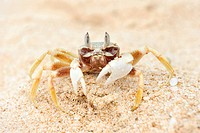 Ghost crab on a beach