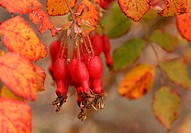 Fruits of the red wild rose grow on autumn tree