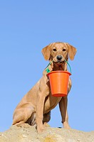 Labrador Retriever, young bitch, yellow coloured, sitting in the sand with a bucket in its mouth