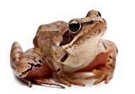Moor Frog _ Rana arvalis.Moor Frog _ Rana arvalis