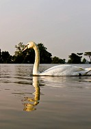 White swan in a lake at evening.