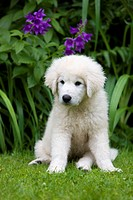Maremma Sheepdog, puppy sitting on grass in front of garden flowers, northern Tyrol, Austria, Europe