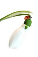 Ladybird.Ladybird resting on a fresh snowdrop