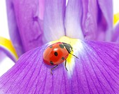 The ladybug sits on a flower petal