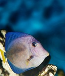Exotic fish. The sea wild world of the tropical seas
