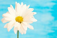 white and yellow daisy on a handpained watercolor background