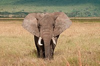 Elephant in Ngorongoro crater National Park