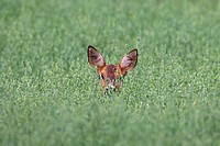 Roe deer Capreolus capreolus female hiding in oat field, Germany