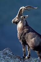Old male of wild goat in Las Batuecas-Sierra de Francia Natural Park  Biosphere Reserve of Sierra de Béjar and Francia  La Alberca  Salamanca province...