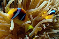 Red Sea or Two_banded clownfish, Anemonefish Amphiprion bicinctus, Red Sea, Egypt, Africa