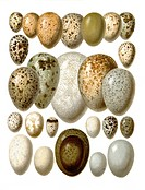 Graphic illustration of European birds eggs, from Meyers Konversations_Lexikon encyclopaedia, 1889