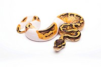 Royal Python (Python regius), Pastel Piebald, female, Willi Obermayer reptile breeding, Austria