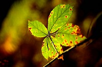 Raspberry (Rubus idaeus), autumnal leaf on a thin branch, backlit