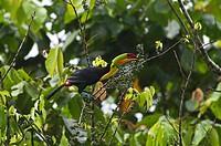 Keel-billed Toucan (Ramphastos sulfuratus), La Selva, Costa Rica, Central America
