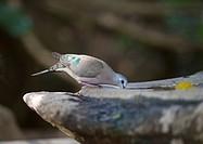 Emerald-spotted Wood Dove (Turtur chalcospilos), Masai Mara, Kenya, Africa