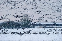 Barnacle Geese Branta leucopsis, winter, Solway, Dumfries, Scotland, United Kingdom, Europe