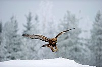 Golden Eagle (Aquila chrysaetos), winter, Finland, Europe